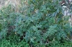 Solanum-sodomaeum-web