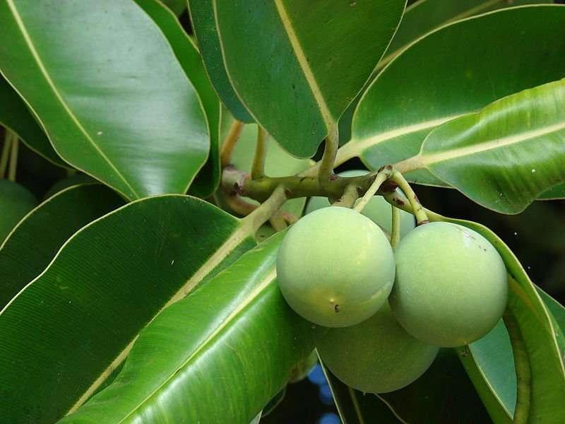 tamanu oil tree