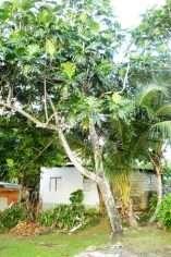 Breadfruit Tree Jamaica