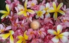 rasta seed franjipani ceremony