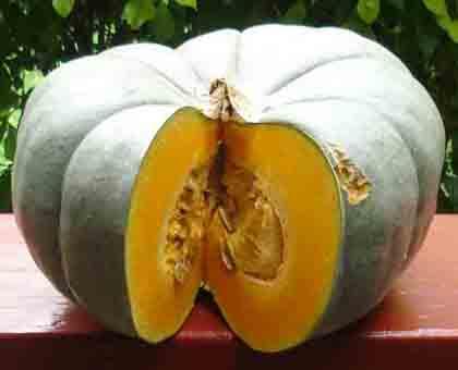 Cucurbita maxima pumpkin
