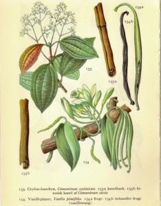 Cinnamomum zeylandicum