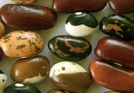 Phaseolus vulgaris seeds