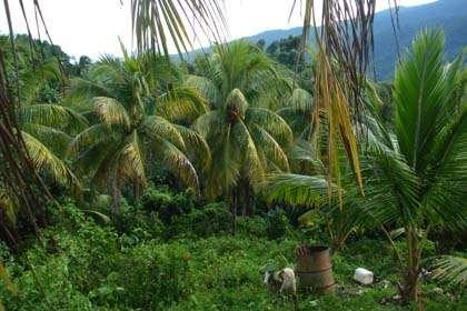 Coconuts Long Bay Portland Jamaica