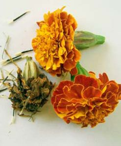 Marigold flower seeds rasta
