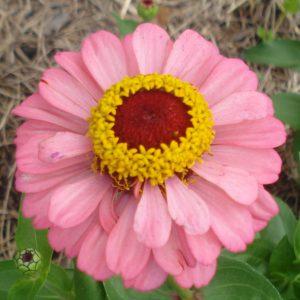 Zinnia-dusty-pink