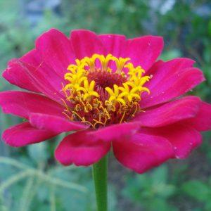 Zinnia-magenta-pink