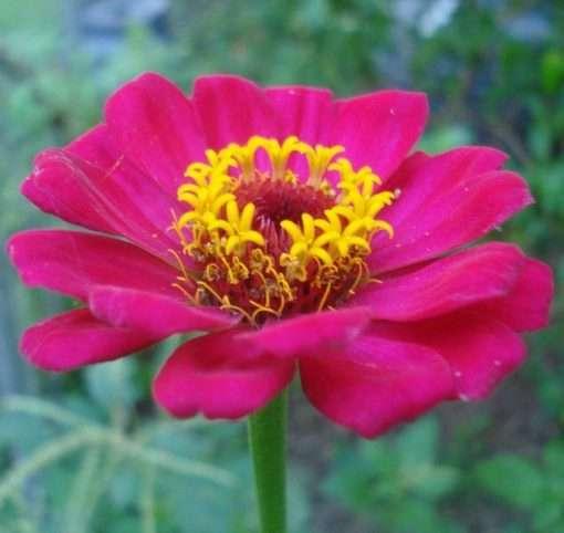 Zinnia magenta pink