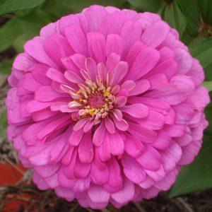Zinnia-triple-pink