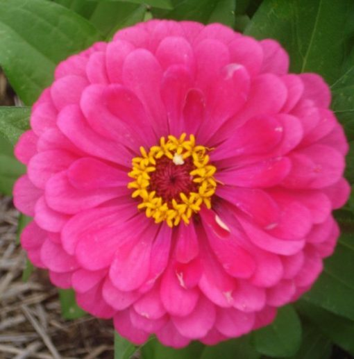 Zinnia large pink