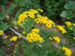 Herb Fertilisers Liquid Manure Teas and Compost Activators Rasta Seed Organic Gardening Tips