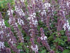African Blue Basil Healing herb for witches